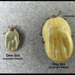 Photo showing an engorged Deer tick (left) and an engorged Dog tick (right) side-by-side