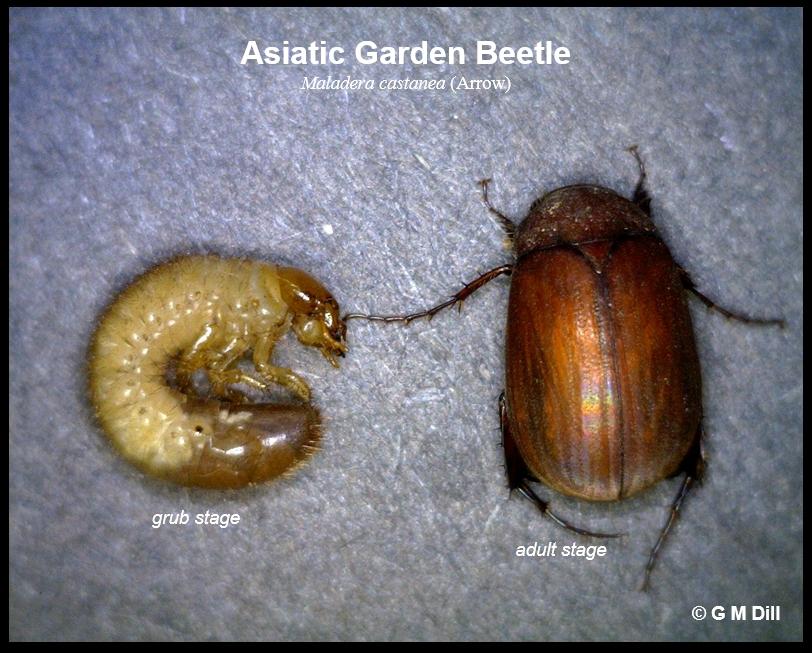 Asiatic Garden Beetle Home And Garden Ipm From Cooperative