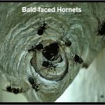 Photo f Baldfaced Hornets (guarding their nest)