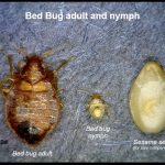 Photo comparing a Bed bug adult with a nymph, plus a sesame seed for size comparisons.