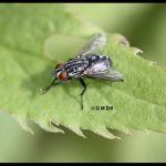 Photo of a Flesh fly resting on a leaf