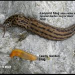 a Leopard Slug (also called a Giant Slug) next to a much more common or typical slug