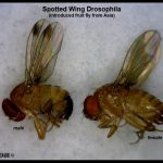 Pair of Spotted Wing Drosophila flies (male on left; female on right)