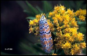 a Bella moth, also known as Beautiful Utetheisa, in the Utetheisa genus of tiger moths