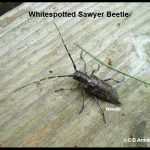 Whitespotted Sawyer beetle (female)