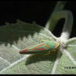 Species of leafhopper commonly called Candy-striped leafhopper