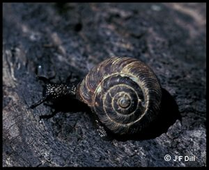 a darkly-colored snail