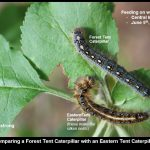 A photo that compares the Eastern Tent Caterpillar with a Forest Tent Caterpillar (one larva of each type is shown side-by-side)