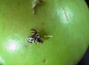 Photo of an Apple Maggot fly resting on a green apple