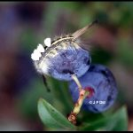 a tussock moth larva feeding on a blueberry