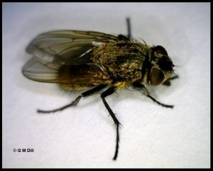 photo of a cluster fly