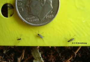 photo of some fungus gnats stuck on a yellow sticky card; three of the flies can be seen quite well.