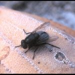 Photo of a type of fly called a Blow Fly