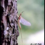 photo of a Mayfly adult resting on a tree