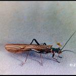 a Stonefly