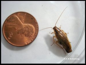 photo of a German cockroach female beside a US penny