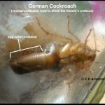Image of a female German cockroach from the underside, revealing its egg case called an ootheca