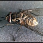 a Stable Fly