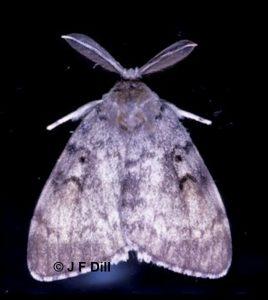 Photo of a male gypsy moth
