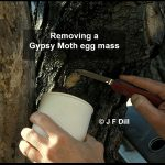 Photo showing the removal of a Gypsy Moth egg mass
