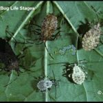 Squash Bug (Life Stages)