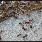 Allegheny Mound Ants on a rock