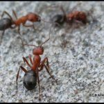 Photo of some Allegheny Mound Ants