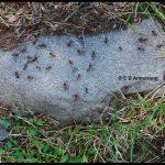 Allegheny Mound Ants in Bristol, Maine Photo taken: July 19th, 2017