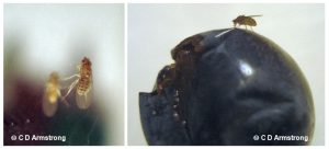 2 images side by side of a fruit fly