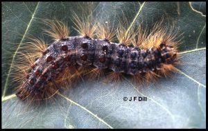 mature gypsy moth caterpillar on an oak leaf