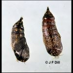Photo showing a pair of Gypsy Moth pupae