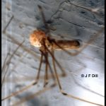 A cellar spider guarding its egg sac