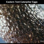 Closeup image of a mass of Eastern Tent Caterpillar eggs on a leaf