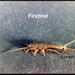 Profile view of a firebrat insect