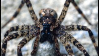 photo of a fishing spider; perhaps Dolomedes scriptus