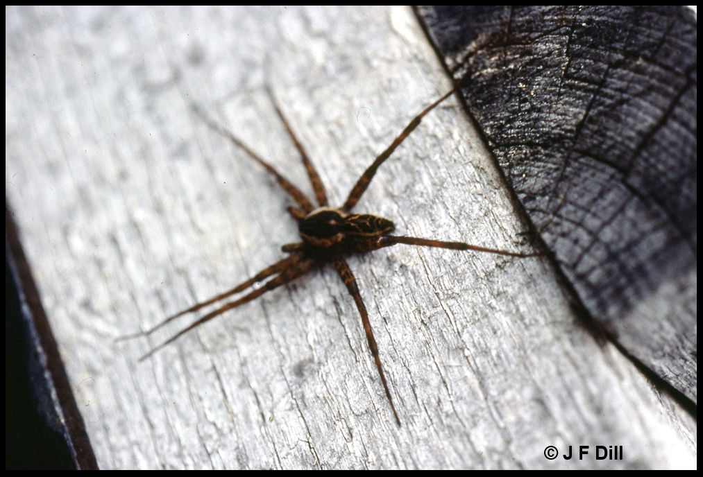 photo of a fishing spider
