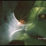 Photo of a funnel weaver spider perched near the entrance to its webbed funnel