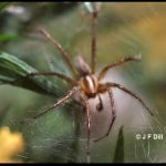 Photo of a funnel weaver spider (also called a grass spider)