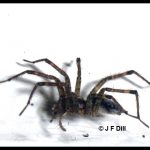 Profile view of a grass spider (also called a funnel weaver)