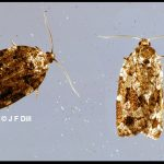 pair of spruce budworm moths