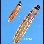 A pair of Spruce Budworm larvae