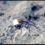 photo of a wolf spider; family Lycosidae