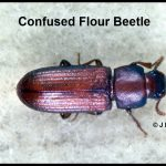 Photo of a species of flour beetle called a Confused Flour beetle