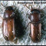 photo of a pair of Broadhorned Flour beetles