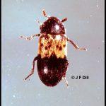 photo of a larder beetle