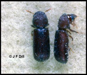 A pair of Lesser Grain Borers