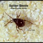 Photo of a small beetle called a Spider Beetle because of their superficial resemblance to a spider