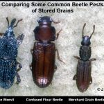 photo comparing three types of insect beetle pests of stored grains (a rice weevil, a flour beetle and a Merchant Grain beetle)