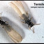 Photo of two winged termites (the winged forms are the reproductives)
