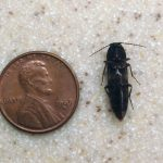 Photo of a Click beetle beside a U.S. penny